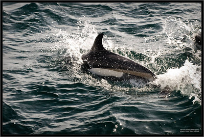 Atlantic White Sided Dolphins